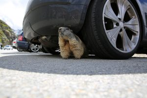 A woodchuck peeking out from underneath a car in a parking lot