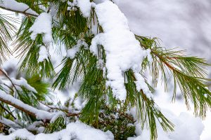 Close up of snow weighing down the branch of a pine tree.